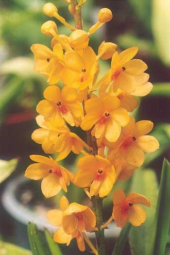 Bunga anggrek tercantik dan termahal - Anggrek Kebutan