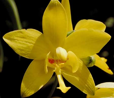 Bunga anggrek tercantik dan termahal - Anggrek Sendok