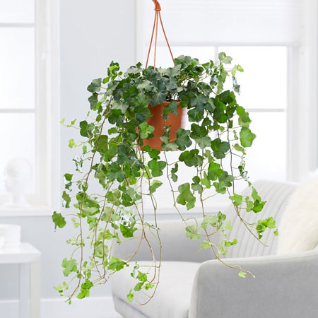 Jenis Tanaman Hias Gantung Yang Mudah Dipelihara - English Ivy