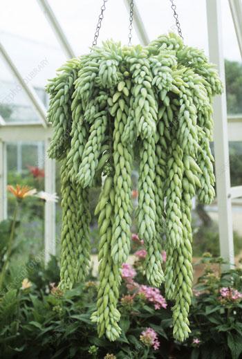 Jenis Tanaman Hias Gantung Yang Mudah Dipelihara - Kaktus Anggur