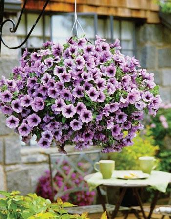 Jenis Tanaman Hias Gantung Yang Mudah Dipelihara - Petunia