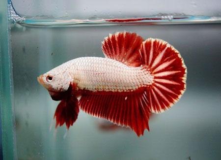Aneka Jenis Ikan Cupang Lengkap Dengan Harganya - Ikan Cupang Aduan HMPK