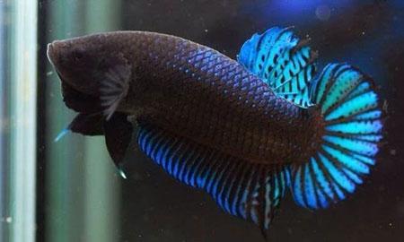 Aneka Jenis Ikan Cupang Lengkap Dengan Harganya - Ikan Cupang Aduan