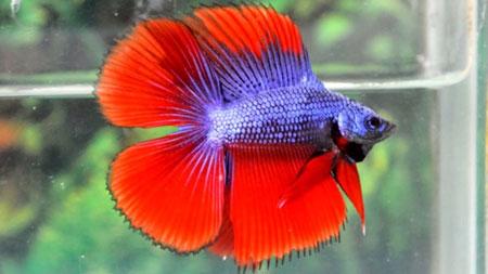 Aneka Jenis Ikan Cupang Lengkap Dengan Harganya - Ikan Cupang Double Tail