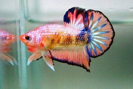 Aneka Jenis Ikan Cupang Lengkap Dengan Harganya - Ikan Cupang Fancy
