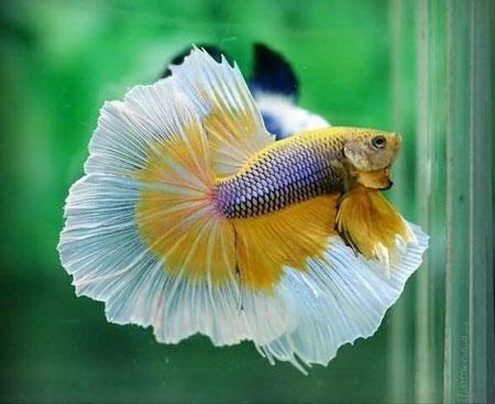 Aneka Jenis Ikan Cupang Lengkap Dengan Harganya - Ikan Cupang Halfmoon