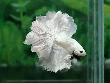 Aneka Jenis Ikan Cupang Lengkap Dengan Harganya - Ikan Cupang Hias Surga