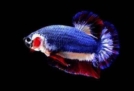 Aneka Jenis Ikan Cupang Lengkap Dengan Harganya - Ikan Cupang Kachen Worachai