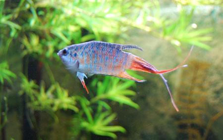Aneka Jenis Ikan Cupang Lengkap Dengan Harganya - Ikan Cupang Paradise