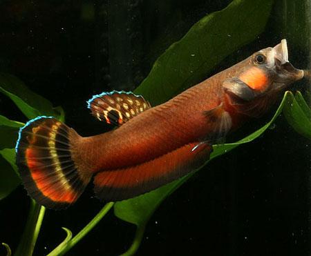 Aneka Jenis Ikan Cupang Lengkap Dengan Harganya - Ikan Cupang Sarawak