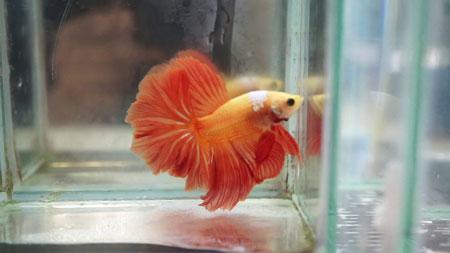 Aneka Jenis Ikan Cupang Lengkap Dengan Harganya - Ikan Cupang Slayer