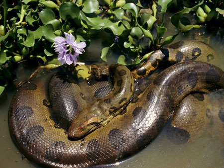 Berbagai Tumbuhan Dan Hewan Unik Yang Ada Di Hutan Amazon - Anaconda