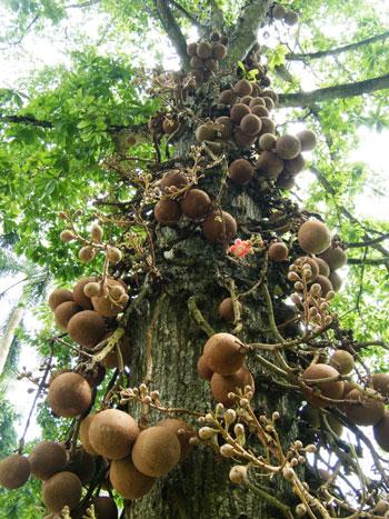 Berbagai Tumbuhan Dan Hewan Unik Yang Ada Di Hutan Amazon - Brazil Nut Tree