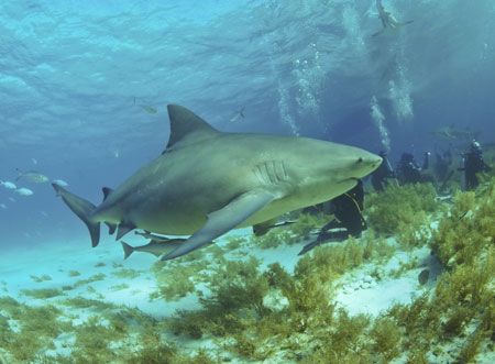 Berbagai Tumbuhan Dan Hewan Unik Yang Ada Di Hutan Amazon - Bull Shark