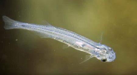 Berbagai Tumbuhan Dan Hewan Unik Yang Ada Di Hutan Amazon - Candiru Fish