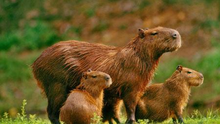 Berbagai Tumbuhan Dan Hewan Unik Yang Ada Di Hutan Amazon - Capybara
