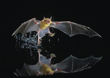 Berbagai Tumbuhan Dan Hewan Unik Yang Ada Di Hutan Amazon - Fishing Bat