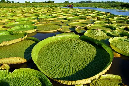 Berbagai Tumbuhan Dan Hewan Unik Yang Ada Di Hutan Amazon - Giant Water Lilies