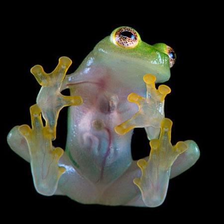 Berbagai Tumbuhan Dan Hewan Unik Yang Ada Di Hutan Amazon - Glass Frog