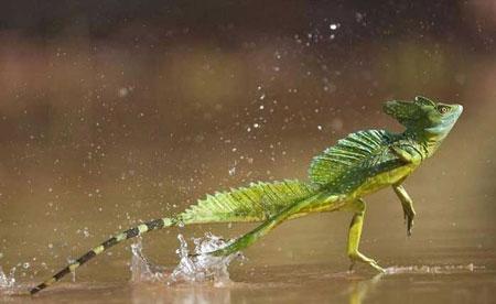 Berbagai Tumbuhan Dan Hewan Unik Yang Ada Di Hutan Amazon - Jesus Lizard