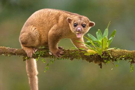 Berbagai Tumbuhan Dan Hewan Unik Yang Ada Di Hutan Amazon - Kinkajou