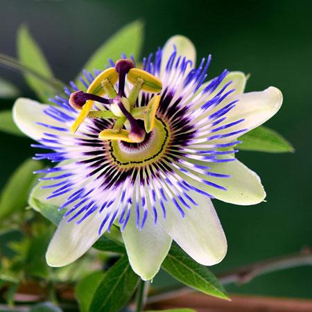 Berbagai Tumbuhan Dan Hewan Unik Yang Ada Di Hutan Amazon - Passion Flower