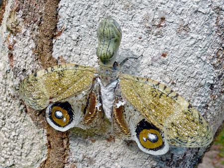 Berbagai Tumbuhan Dan Hewan Unik Yang Ada Di Hutan Amazon - Peanut Head Bug
