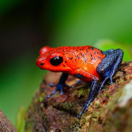 Berbagai Tumbuhan Dan Hewan Unik Yang Ada Di Hutan Amazon - Poison Dart Frog