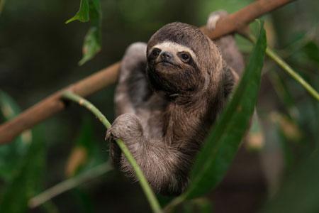 Berbagai Tumbuhan Dan Hewan Unik Yang Ada Di Hutan Amazon - Sloth