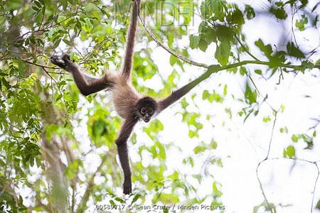 Berbagai Tumbuhan Dan Hewan Unik Yang Ada Di Hutan Amazon - Spider Monkey