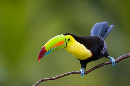 Berbagai Tumbuhan Dan Hewan Unik Yang Ada Di Hutan Amazon -Toucan