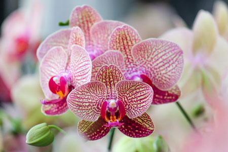 jenis bunga yang cocok dengan zodiak - Aquarius - Bunga Anggrek