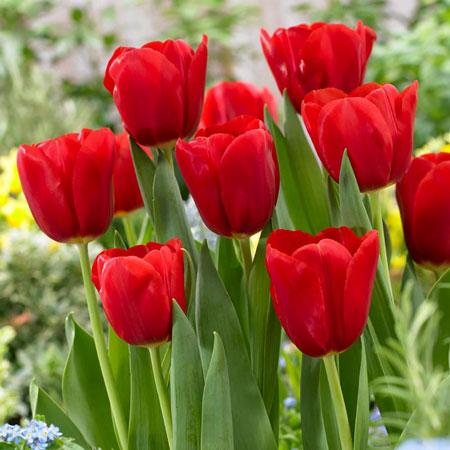 jenis bunga yang cocok dengan zodiak - Aries - Bunga Kamperfuli/honeysuckle, Tulip Merah