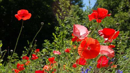 jenis bunga yang cocok dengan zodiak - Aries - Taurus - Bunga Poppy, Lily