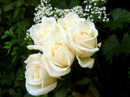 jenis bunga yang cocok dengan zodiak - Cancer - Mawar Putih, Larkspur/Delphinium, Acanthus