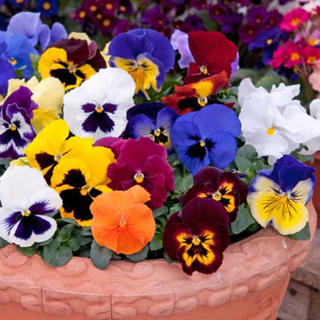 jenis bunga yang cocok dengan zodiak - Capricorn - Bunga Pansy, Violet Afrika