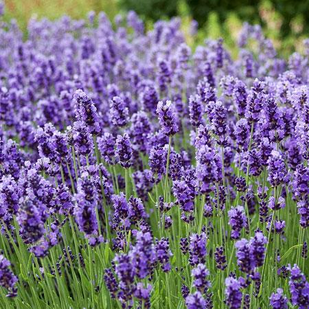 jenis bunga yang cocok dengan zodiak - Gemini - Bunga Lavender, Mawar