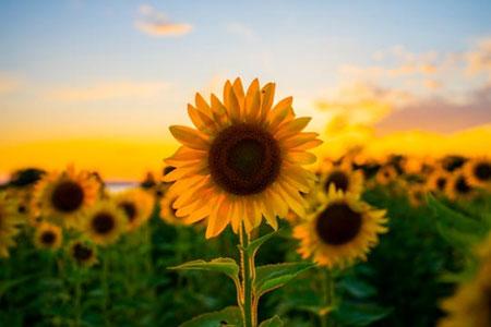 jenis bunga yang cocok dengan zodiak - Leo - Bunga Matahari
