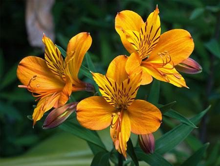 jenis bunga yang cocok dengan zodiak - Pisces - Bunga Teratai, Lili Peru/Alstroemeria