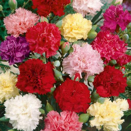 jenis bunga yang cocok dengan zodiak - Sagittarius - Anyelir/Carnation, Narcissus/Daffodil