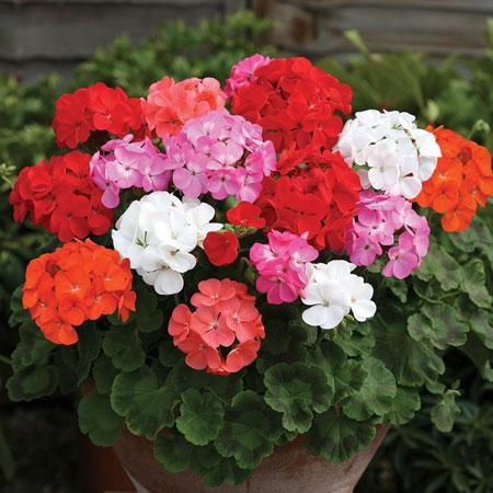 jenis bunga yang cocok dengan zodiak - Scorpio - Bunga Krisan/Chrysanthemum, Bunga Geranium