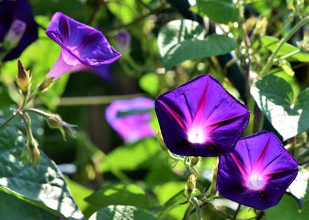 jenis bunga yang cocok dengan zodiak - Virgo - Bunga Buttercup/Ranunculus , Morning glory, Krisan