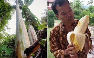 Pisang raksasa Papua