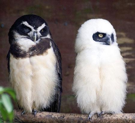 Jenis-Jenis Burung Hantu Di Dunia