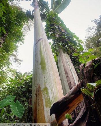 Fakta Musa Ingens Pohon Pisang Raksasa di Papua