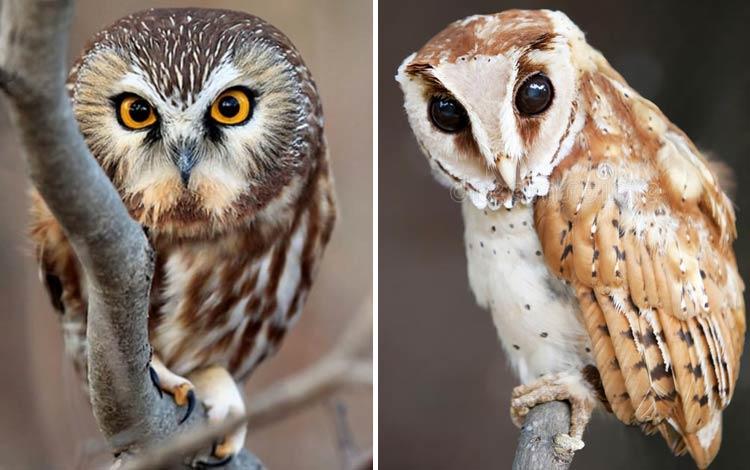 18 Jenis Burung Hantu Yang Ada Di Dunia Blog Unik
