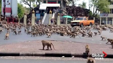 Viral Tawuran Monyet Di Thailand