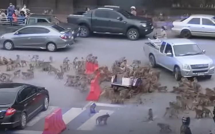 Viral tawuran sekelompok monyet di Thailand
