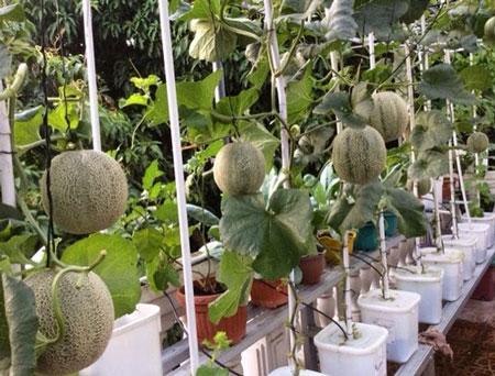 jenis sayuran dan buah yang bisa ditanam secara hidroponik