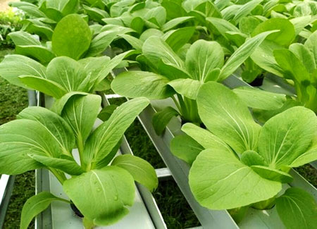 Jenis Tanaman Hidroponik Sayur Dan Buah Yang Mudah Ditanam Di Rumah